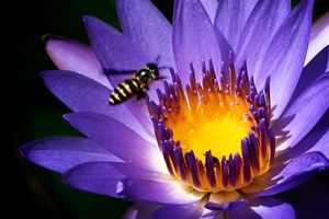 water lily and a bee